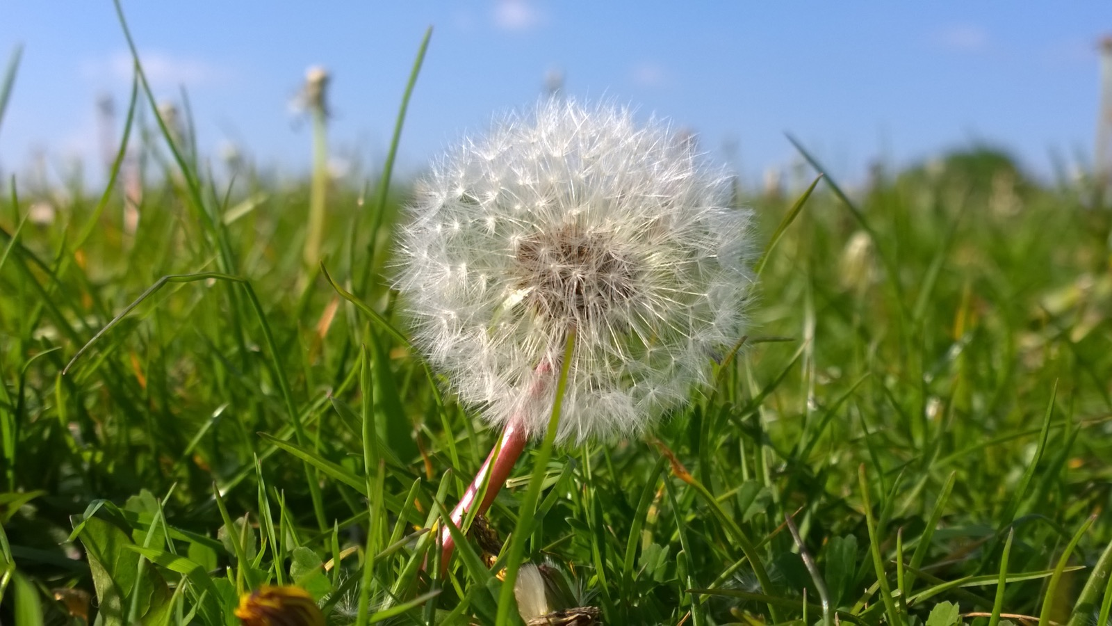 Perfect Dandelion