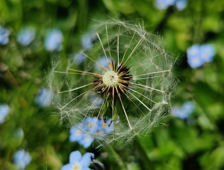 Dandelion 'clock', click for full resolution